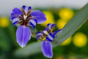 Purple Iris with Yellow Flowers