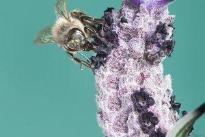Bee sucking lavander