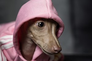 little italian greyhound dog
