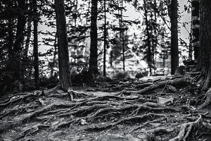 Roots of pine trees in forest