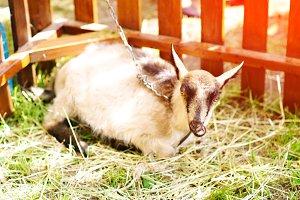 The goat lies