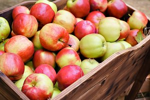harvest many apples