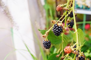Black raspberry on a branch