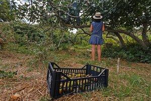 Fig harvesting