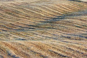Curved hilly wheat field in Tuscany
