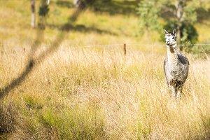 Alpaca in a field