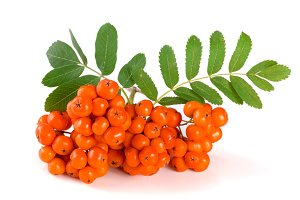 Orange rowan with leaf isolated on white background