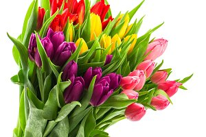 Fresh Multicolor Tulips