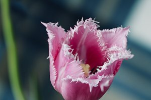 fringed red tulip