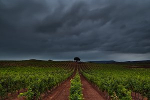 Green vineyard in a windy and cloudy sunrise