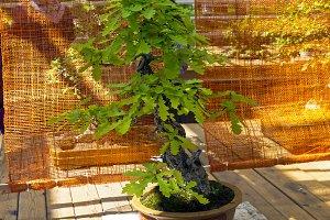 English oak - Bonsai