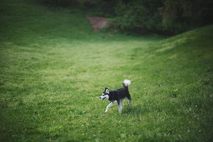 Alaskan Klee Kai at Park