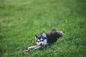 Funny AKK Dog Chewing on Stick