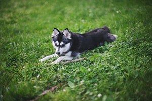 Sweet Klee Kai Laying Down
