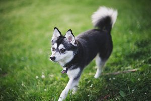Brown Eyed Black & White Klee Kai