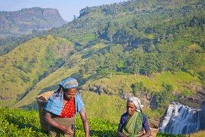 Tea pickers at a plantation