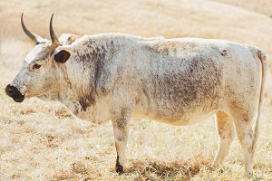 African Nguni Cow