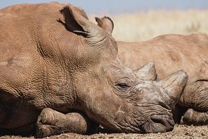 African Rhino lazing in the sunshine