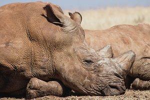 African Rhino lazing in the sunshine