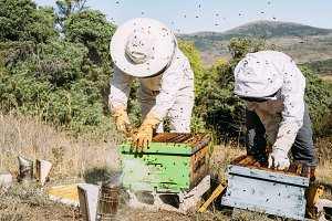 Beekeepers working collect honey.