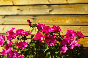 Pink flowers in garden wooden background