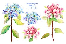 Watercolor Blue and Pink Hydrangea
