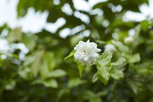 Beautiful fresh jasmine flowers in the garden