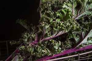 Fresh leaves of cabbage Kale. Dark background. A delicious diet.