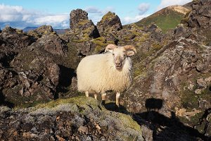 Sheep in the colorful mountains of the Landmannalaugar Valley, Iceland