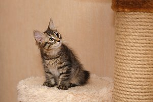 Cute little bobtail kitten