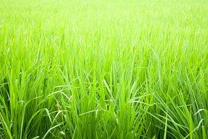 Rice fields.