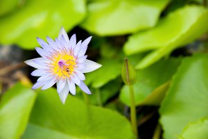 The Blue Lotus.