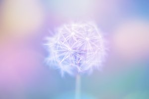 Light white close up dandelion