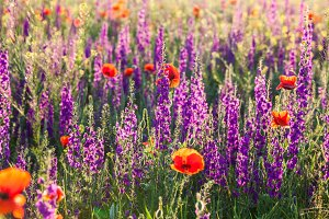 Field of violet lavender flowers