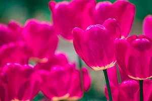 Pink and violet tulips