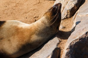 Cape fur seal warming up