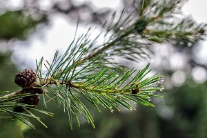Pine tree branch with water drops