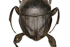 Dung Beetle Sisyphus