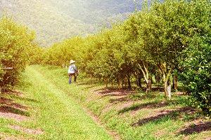 Farmer in orange orchard