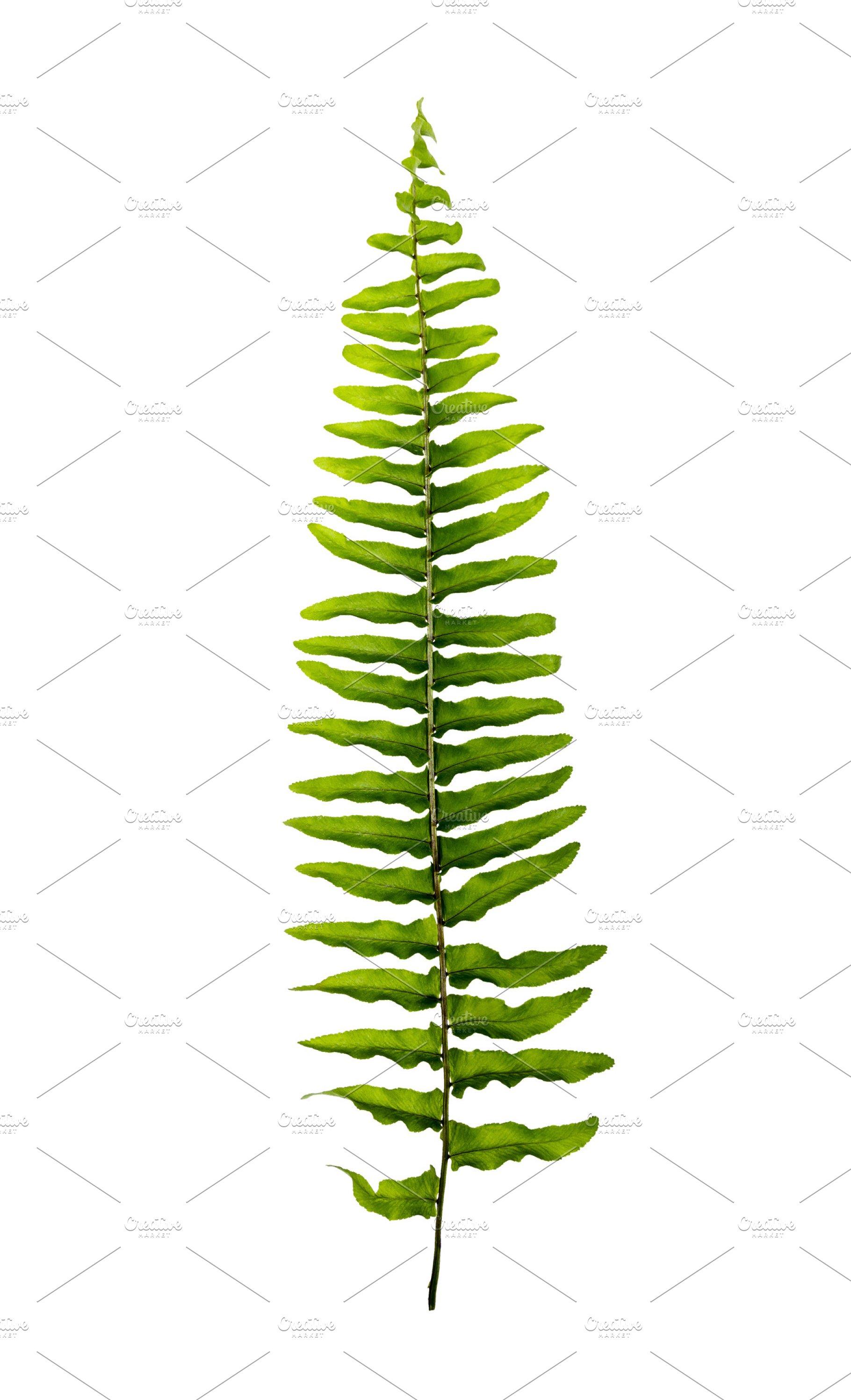 Boston Fern Leaves High Quality Nature Stock Photos Creative