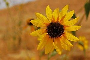 Sunflower Against Blurry Background