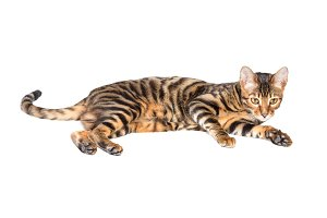 Young cat breed toyger