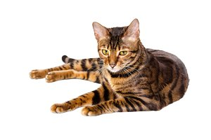 Cat breed Toyger