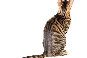 Kitten breed toyger