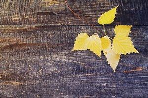 Autumn birch leaf.