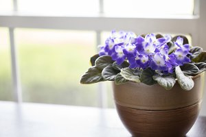 Potted Purple Violets in a Window