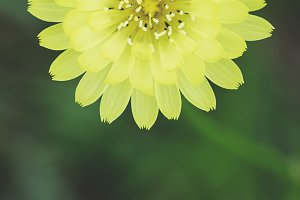 Yellow Dandelion Flower Abstract