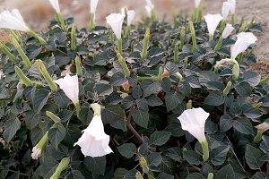 Stramonium bush