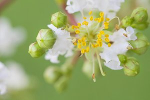 White and Yellow Crepe Myrtle Flower