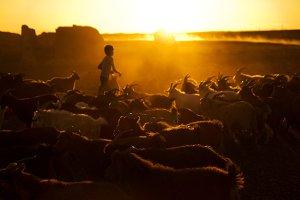 Kazakh boy with his goats